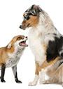 honden en vossen